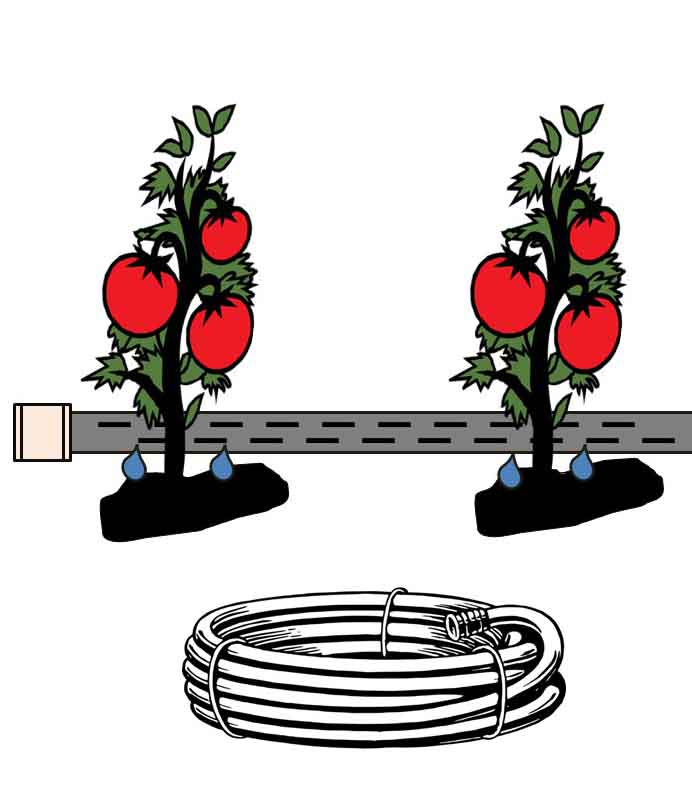 Tomato drip irrigation with hoses