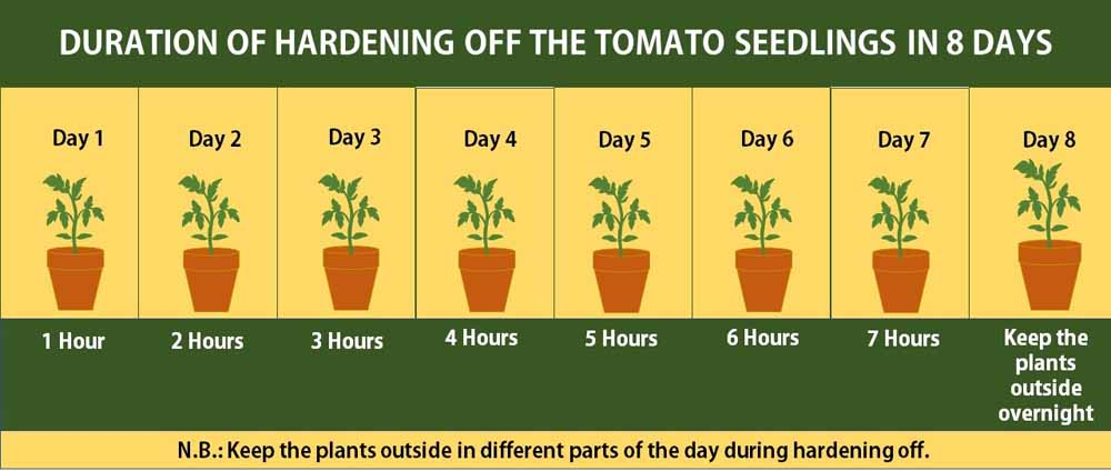 How to harden off tomato seedlings