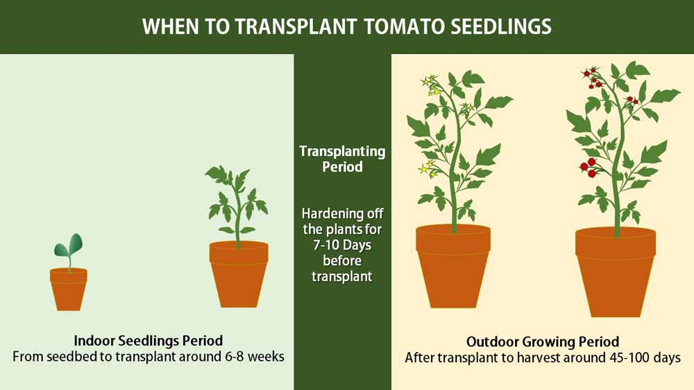 When to transplant tomato seedlings