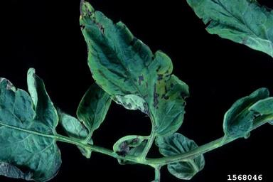 Bacterial Speck on Tomato Stem
