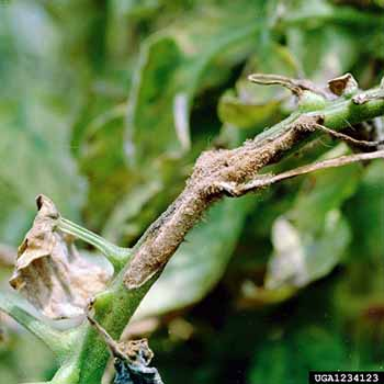 Early blight on Tomato Stem, Alternaria solani