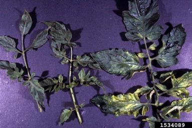 Mosaic Virus on Tomato Leaf