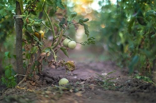 Poor Fruit Set of Tomatoes