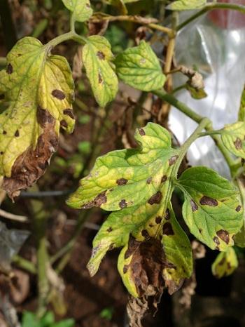 Tomato Septoria leaf spot