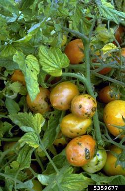 Tomato spotted wilt virus -TSWV