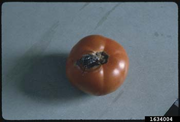 early blight on tomatoes, Alternaria Solani