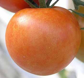 Tomato mosaic virus, ToMV
