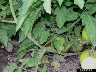 fusarium crown and root rot of tomato