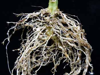 root knot nematode of tomato
