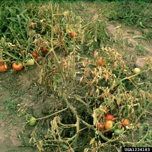 Southern blight of tomato, southern stem rot