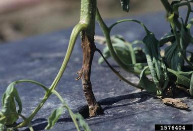 phytophthora root rot tomato