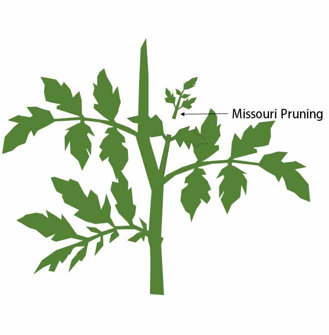 Missouri pruning tomatoes