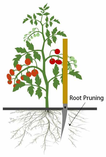 Root pruning tomatoes