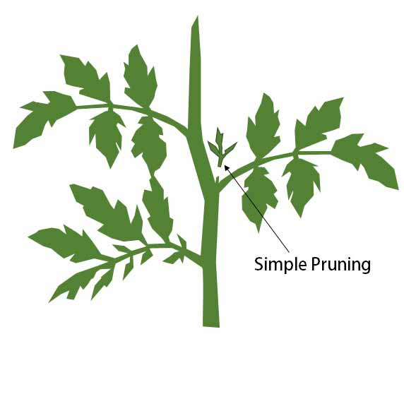 Simple pruning tomatoes