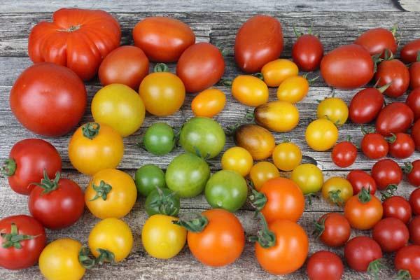 Heat-Tolerant Tomato Varieties