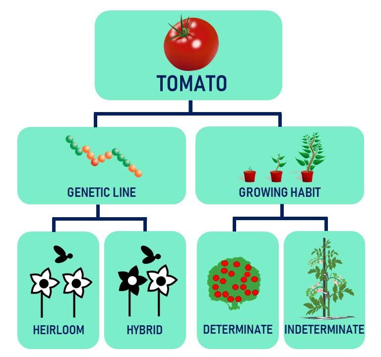 Determinate vs Indetermiante Tomatoes