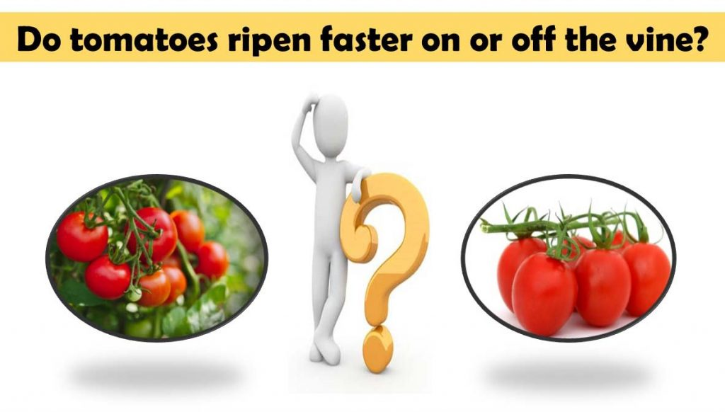 Do tomatoes ripen faster on or off the vine