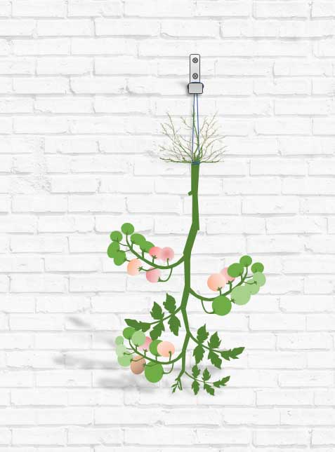 Hanging-tomato-plants-upside-down