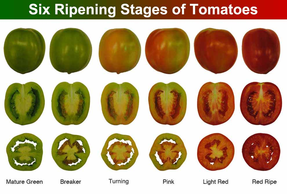 Ripening Stages of Tomatoes